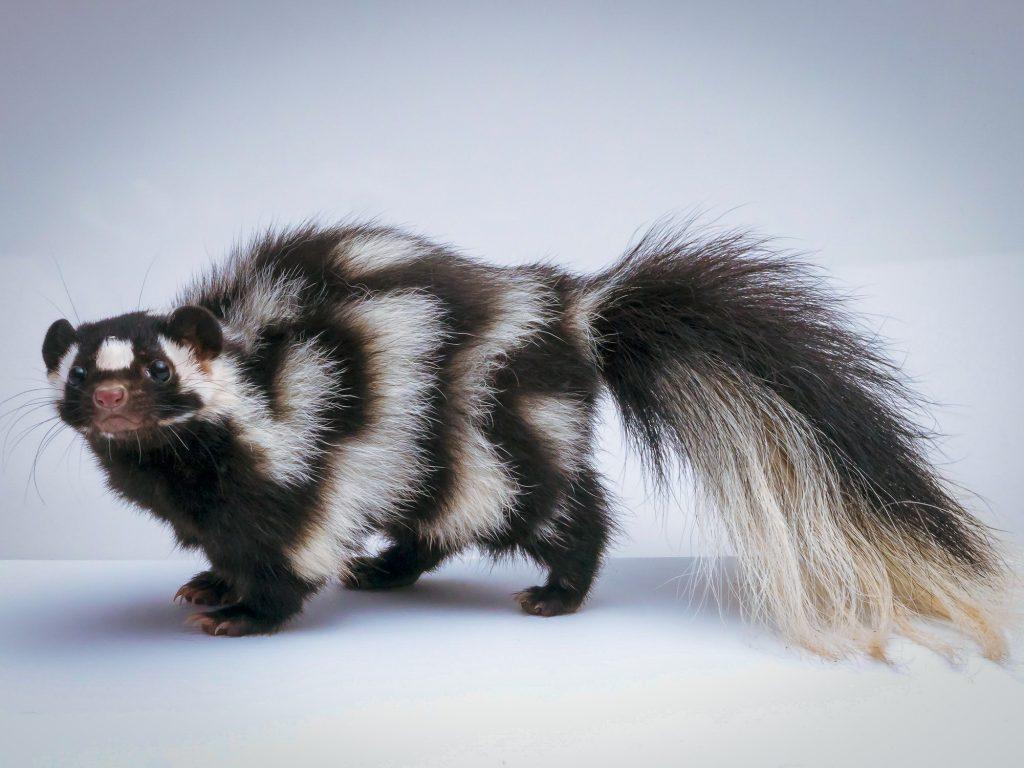 skunk under studio lighting