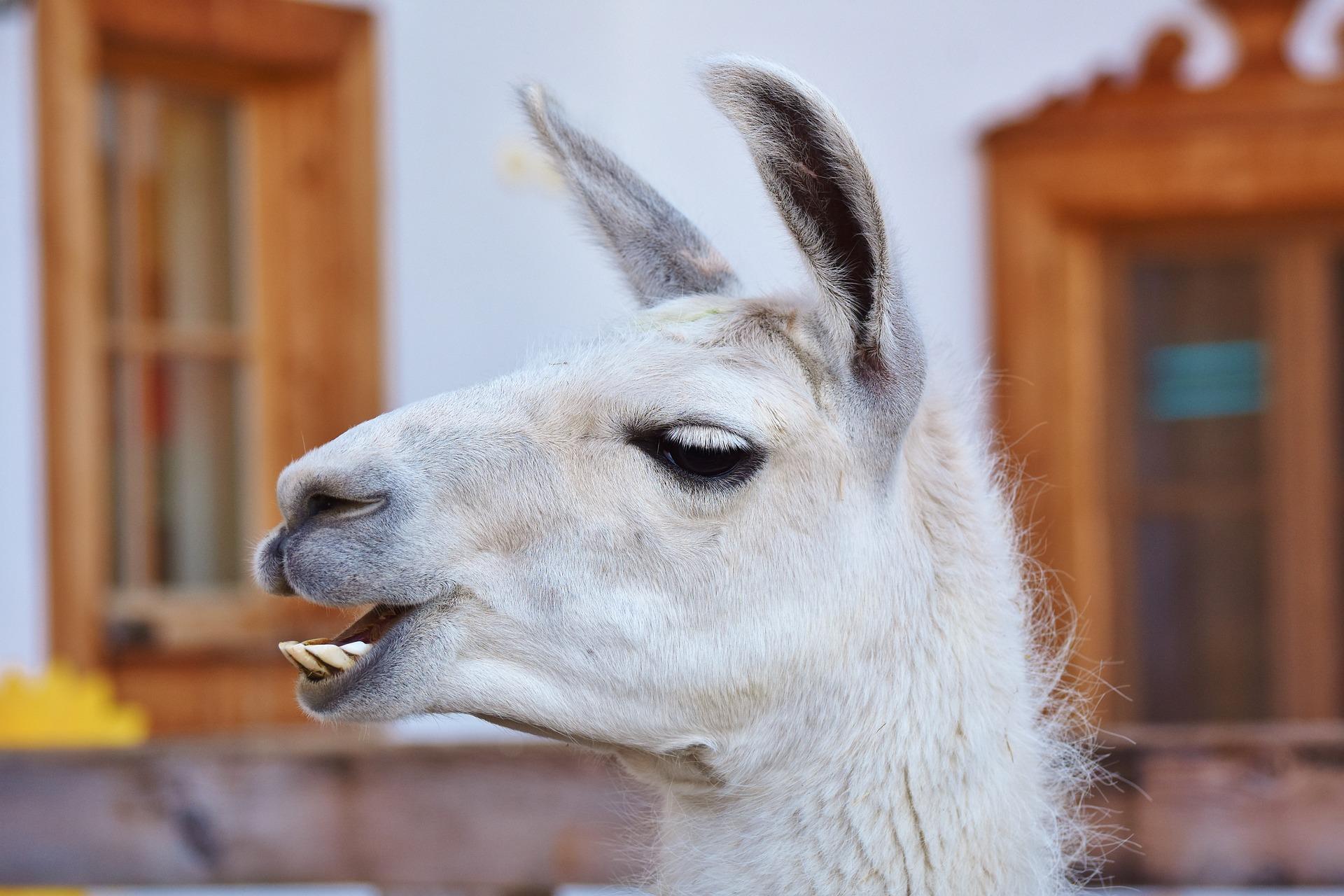 llama side profile