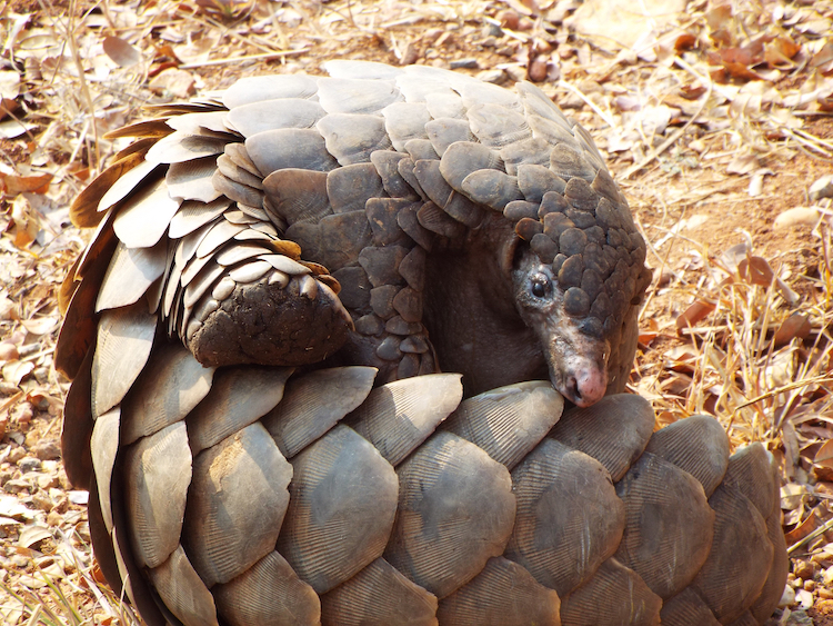Pangolin, rolled up to protect itself